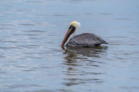 Wild Brown Pelican bird floating on the Pacific Ocean in Mexico. Banco de Imagens - 138090178
