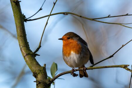 European Robin redbreast, Erithacus rubecula in a natural UK woodland habitat.