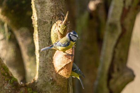 Eurasian Blue Tit, Cyanistes caeruleus against a natural woodland background during winter in the UK.