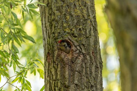 A Great Spotted Woodpecker, Dendrocopos Major feeding a fledgling in the nest