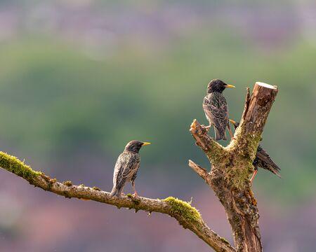 The passerine common, or european starling, Sturnus vulgaris on a perch in the UK