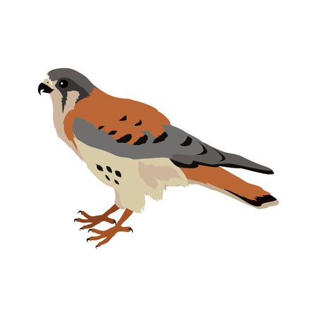 falco: American kestrel vector. Predatory birds wildlife concept in flat style design. American fauna illustration for prints, posters, childrens books illustrating. Beautiful falcon bird seating isolated on white.