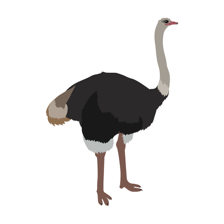wild life: Ostrich vector. Birds of savannah in flat design. African fauna illustration. Wild life in tropics concept for childrens books illustrating. Ostrich farm  . Big ostrich standing isolated on white.