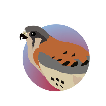 specie: American kestrel vector. Predatory birds wildlife concept in flat style design. American fauna illustration for prints, posters, childrens books illustrating. Beautiful falcon bird seating isolated on white.