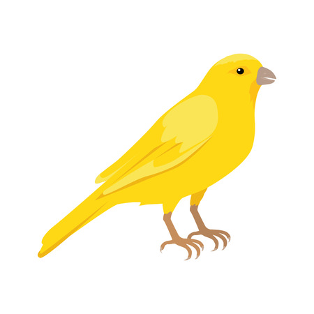 seating: Canary vector. Domestic songbird concept in flat style design. Illustration for pet stores advertising, childrens books illustrating. Beautiful yellow canary bird seating on brunch isolated on white.