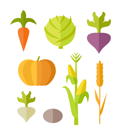 beets: Set of vegetables vector. Flat design. Carrot, pumpkin, corn cabbage beets radishes potatoes illustrations for conceptual banners, icons, infographics. Isolated on white background.