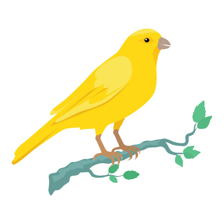 specie: Canary vector. Domestic songbird concept in flat style design. Illustration for pet stores advertising, childrens books illustrating. Beautiful yellow canary bird seating on brunch isolated on white.