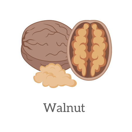 fatty: Walnut vector in flat style design. Traditional snack, diet product, culinary ingredient, source of vitamins, elements, fatty acids and oil. Isolated on white background. Illustration