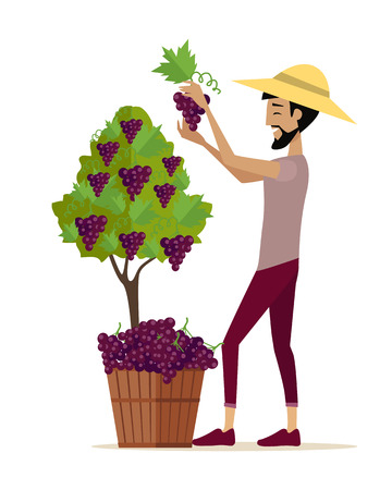 Man picking grape during wine harvest. Harvesting icon. Smiling vintner harvesting a bunch of red grapes in vineyard. Isolated object in flat design on white background. Vector illustration.