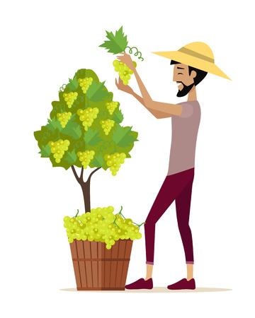 Man cueillette de raisin pendant la récolte du vin. Récolte icône. Sourire vintner la récolte d'une grappe de raisin blanc dans le vignoble. objet isolé dans la conception à plat sur fond blanc. Vector illustration.