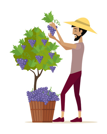 viniculture: Man gathers red grapes into the basket. For labels, tags, posters, banners of check elite vintage wines. Winemaking concept. Part of series of viniculture production and preparation items. Vector