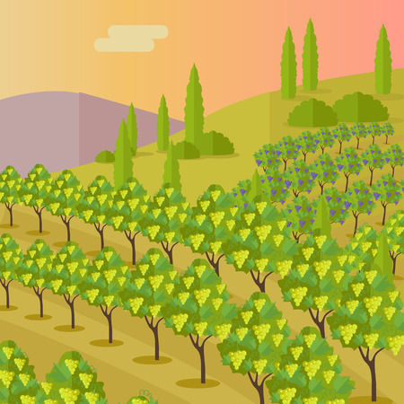 vineyard sunset: Grapes leaves in a sunny vineyard. Vineyard langscape. Rural landscape with vineyard and grapes bunches. Natural background. Landscape with rolling hills and valleys. Beautiful rows of grapes.