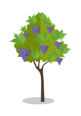 purple grapes: Purple grapes hanging on a bush. Vineyard icon. Vineyard grape. Wine grapes in vineyard ready for harvest. Grape bush icon. Ripe purple grapes with shadow. Vector illustration on white background.