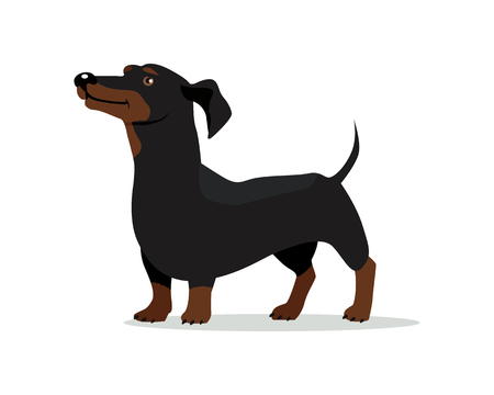 badger: Dachshund or badger dog breed flat design vector. Purebred pet. Domestic friend and companion animal illustration. For pet shop ad, animalistic hobby concept, breeding illustration. Canine portrait Illustration