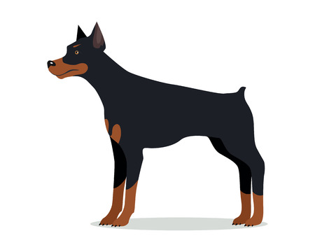 pincher: Doberman Pinscher, Dobermann, Doberman isolated on white. Dog of medium-large size with square build and short coat. Home pet. Popular compactly built and athletic breed. Series of puppies. Vector Illustration