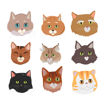animalistic: Different breed cat s faces. European shorthair, exotic, bengal, somali, maine coon cats heads flat vector illustrations set isolated on white background. For pet shop ad, animalistic hobby concepts Illustration