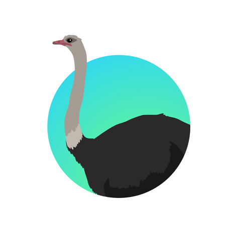 extremity: Ostrich vector. Birds of savannah in flat design. African fauna illustration. Wild life in tropics concept for childrens books illustrating. Ostrich farm logo. Big ostrich standing isolated on white.