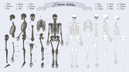 rib: Human skeleton. White and black. Names of peples bones. Skull, backbone, rib, stornum, femur, tibia, fibia, humerus, patella ulna radius scapula wrist ankle shoulder sacrum vertebra Vector Stock Photo