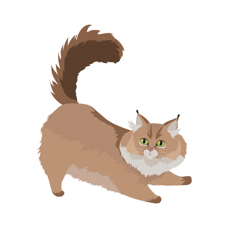 cat stretching: Maine Coon Cat Flat Design Illustration