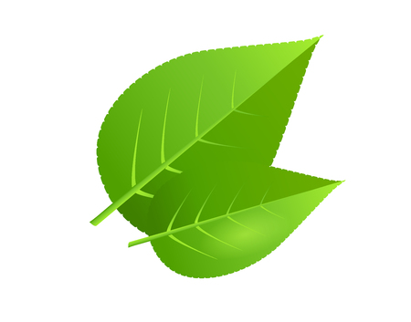 Two green tree leaves vector illustration