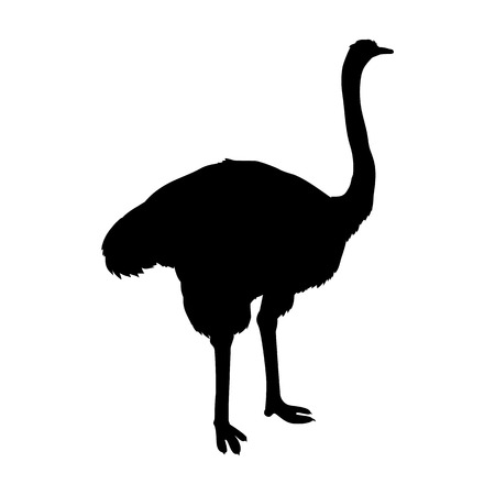 Ostrich vector. Birds of savannah in black color. African fauna illustration. Wild life in tropics concept for childrens books illustrating farm logo. Big ostrich standing isolated on white.