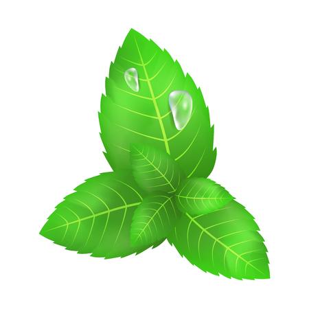 ミントの緑の葉2つのダウンドロップ  イラスト・ベクター素材
