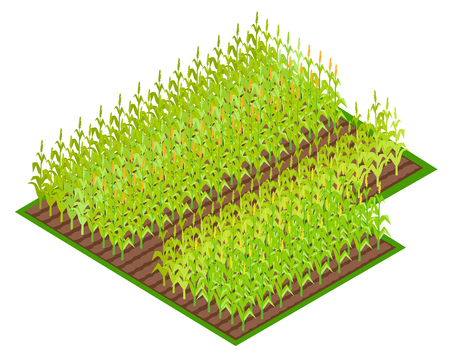 Field with Growing Corn Crops VectoI illustration