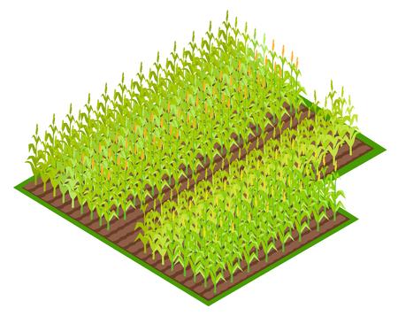 Field with Growing Corn Cultures VectoI ilustração