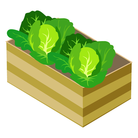 Green Cabbages in Wooden Box Isolated on White