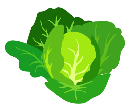 Green Cabbage Vector Illustration Isolated White