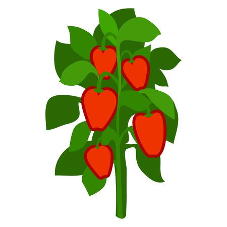 自家製完熟赤ピーマン、緑の葉