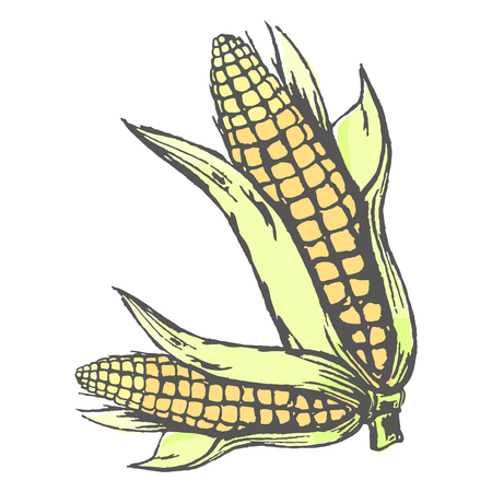 Two corn cobs with leaves isolated on white colorful graphic vector poster. Seasonal healthy maize vegetables with many small yellow seeds