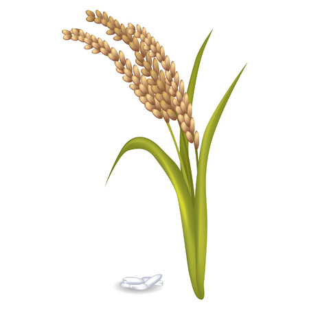 Paddy Ears with Rice Grain Pile on White Poster