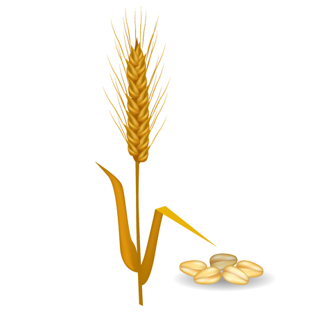 Barley ear with long leaves and crop near pile of grains vector flat poster on white. Closeup illustration of field cereals harvest