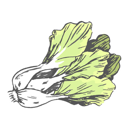 Romaine Lettuce Close up Graphic Illustration Illustration