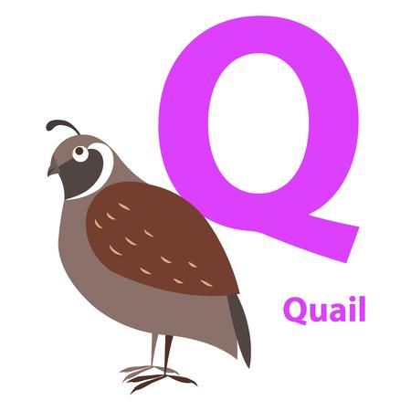 Bruine kwartel op alfabetkaart met platte Letter Q Stock Illustratie