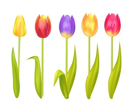 Colorful tulips set isolated on white background Illustration