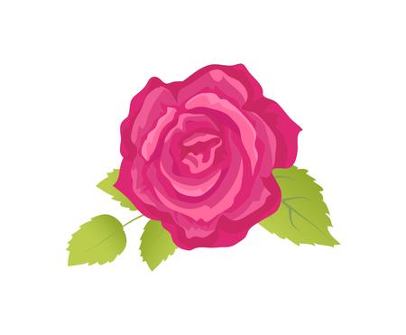 Rose Flower with Green Leaves Vector Illustration Illustration
