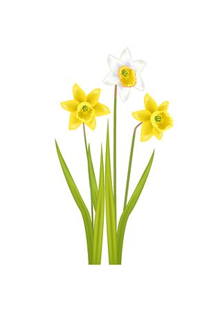 Daffodil Narcissus Bulbous Eurasian Plant, Flowers Illustration