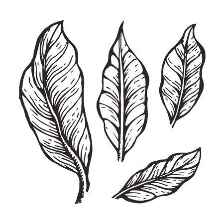 Coffee tree leaves sketch, hand drawn elements and coffee leaves, collection of plant part, colorless vector illustration isolated on white background Imagens - 104122120