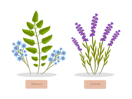 Olibanum and lavender set of herbs headlines below, herbs collection with titles, aromatic elements vector illustration isolated on white background