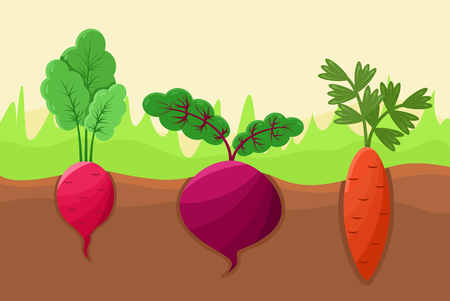 Carrot radish and beetroot vector illustration, healthy agricultures planted into soil, green grass, set of roots with tasty shoots on top, cute icons