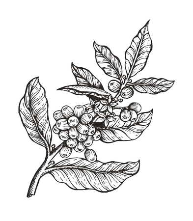 Coffee tree with beans coffea sketch and colorless image, leaves and coffee beans organic plant vector illustration, isolated on white background Vettoriali