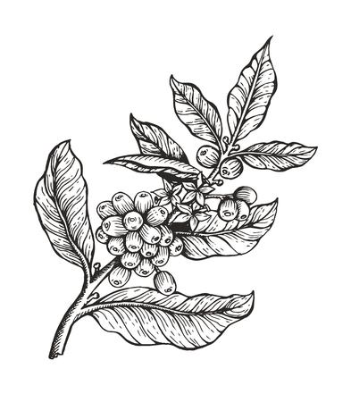 Pianta del caffè con schizzo di coffea di fagioli e immagine incolore, foglie e chicchi di caffè pianta organica illustrazione vettoriale, isolato su sfondo bianco Vettoriali