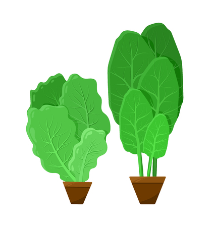 Green bunches of salad, color vector illustration, salad shoots isolated on white background, vegan food, vegetables in small brown pots, healthy meal
