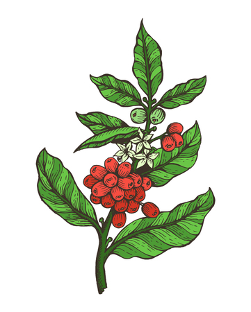 Coffee tree colorful plant with beans and flowers in blossom, coffee tree plant and green leaves, vector illustration isolated on white background