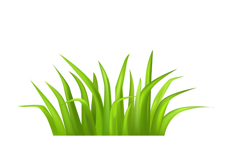 Green grass vector illustration isolated on white. Grass greenery, fresh annual or perennial herb editable element for your design, realistic grasses