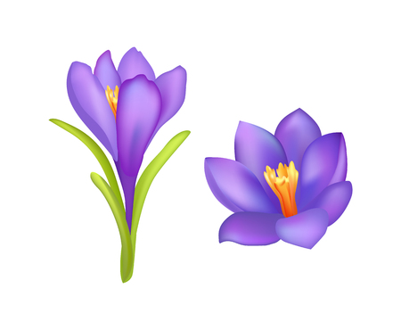 Crocus springtime flowers, blooming purple buds with yellow middle, spring beautiful flowers isolated on white background, vector illustration blossoms