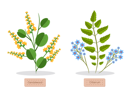 Sandalwood and olibanum poster with headlines and flowers, green leaves, sandalwood herb collection vector illustration isolated on white background Illustration