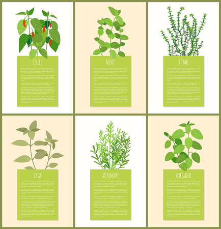 Chile and mint, thyme sage and oregano spices set, rosemary plant, different spices, aroma plants, text sample, dish ingredients vector illustration